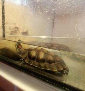 Черепаха красноухая водоплавающая