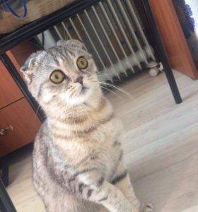 Шотландская вислоухая кошка для вязки