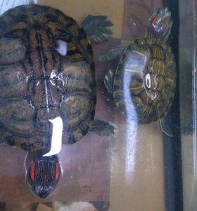 Продам двух черепашек