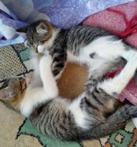 Отдаются даром котята-мальчики 2мес. в добрые руки