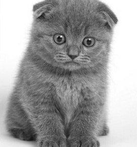 Вислоухого котёнка