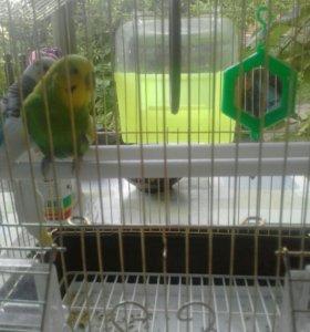 Порочка попугай сдомиком и бассейном