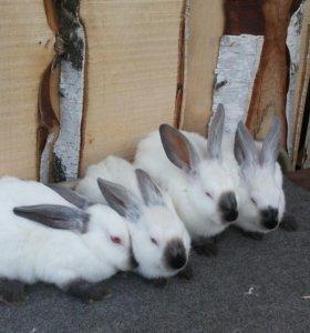 Крольчата калифорницы