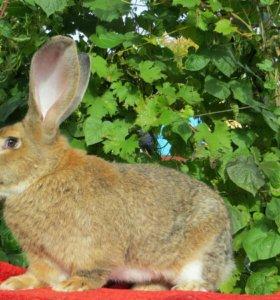 Крольчата чистопородные.
