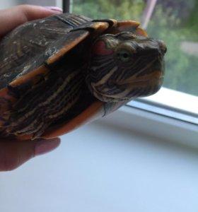 Черепаха красноухая девочка