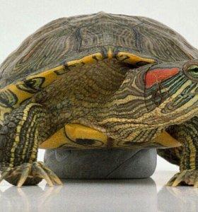 Продам взрослых красноухих черепах цена за одну