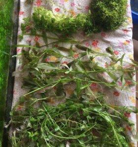 Растения для аквариума (излишки)