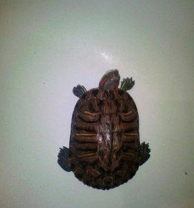 Продам красноухих черепах с аквариумом