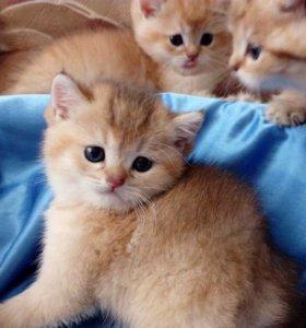 Золотые котята от британской элиты
