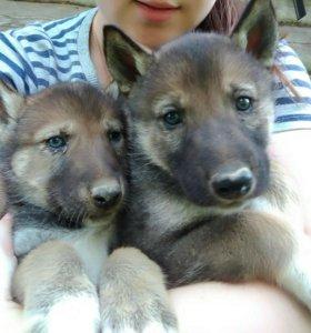 Щенки. Помесь волка и русско-европейской лайки
