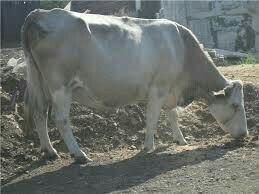 Корова стельная.