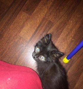 Котенок чёрный пушистый
