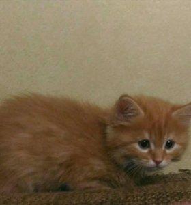 Сибирский котенок рыжий