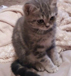 Котёнок шотландец