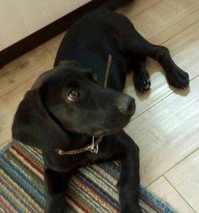 Кобель щенок 4 месяца