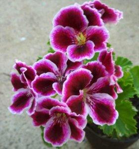 Герань сортовая кусты цветущая
