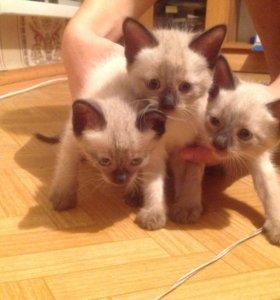 Тайские (сиамские) котята