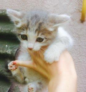 Котята в добрые руки полукровки (шотландцы) отдам