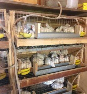 Продаются перепелиные яйца