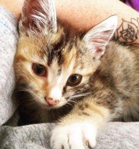 Котёнок(Девочка 2 месяца)