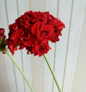Герань розоцветная(Rosebud),