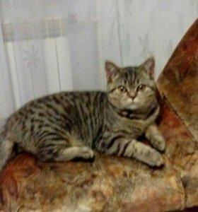 Шатланская Кошка