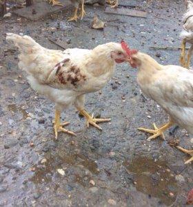 Домашние цыплята