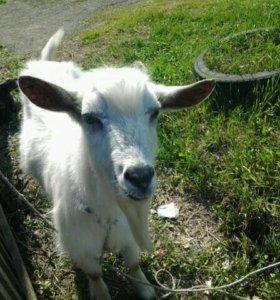 Продам козу,2-х козлят(мальчик,девочка) и козла!