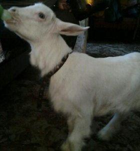 Продам козу,2-х козлят(мальчик,девочка)