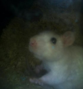 Крыса свинкс