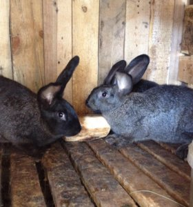Кролики-Фландр,Б.Великан,Калифорния.