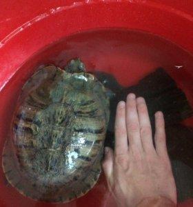 Отдам черепаху красноухою.