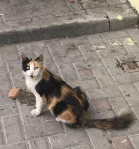 Трёхцветная кошка в добрые руки