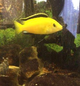 Молинезия черная-20 и цихлида желтая-50 руб