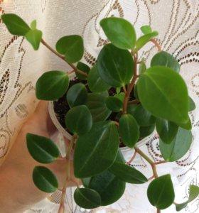 Цветок Пеперомия с мелкими листиками