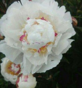 Пион белый с желто-розовой сердцевиной