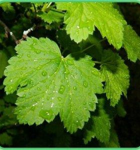 Листья смородины для чая