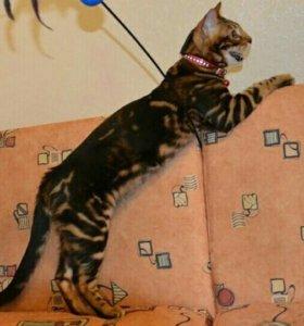 "Бенгальские котята, окрас "" мрамор на золоте"""