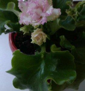 Детки и листки сортовых фиалок