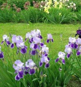 Цветы ирисы желтые и фиолетовые