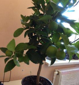 Лайм (лимон) цитрусовые.