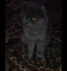 Вислоухий кот на вязку