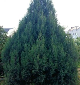 Голубой Тис. Дерево