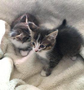 Котята помесь сиама и шотланца