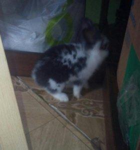 Декоративный кролик 3 мес.