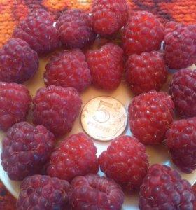 Продам ягоды штамбовой малины