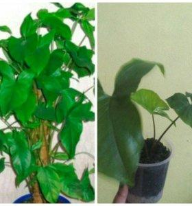 Сингониум комнатное растение