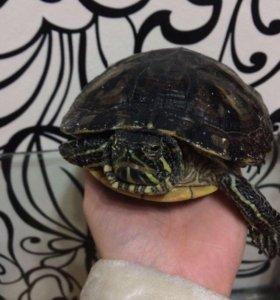 Продам черепаху девочку
