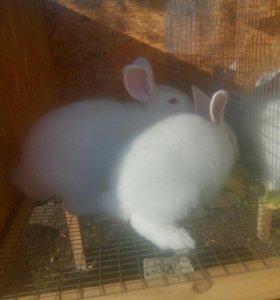 Кролики новозеландец