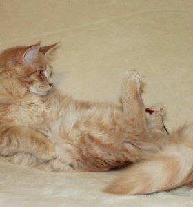 Кошечка Мейн-кун 6 мес.